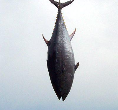 Tuna fish in Sorrento